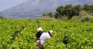 Η Σάμος του Πυθαγόρα & της αμπέλου -Τα αμπέλια της Σάμου - Documentary about Samos