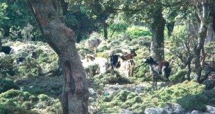 Το Δάσος του Ράντη στην Ικαρία