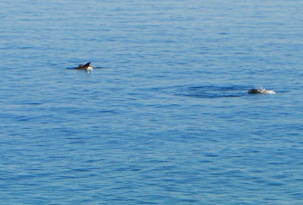 Κοπάδι δελφινιών στην Σάμο - Νέο μέλος της οικογένειας κολυμπάει δίπλα στην μητέρα του στα αριστερά